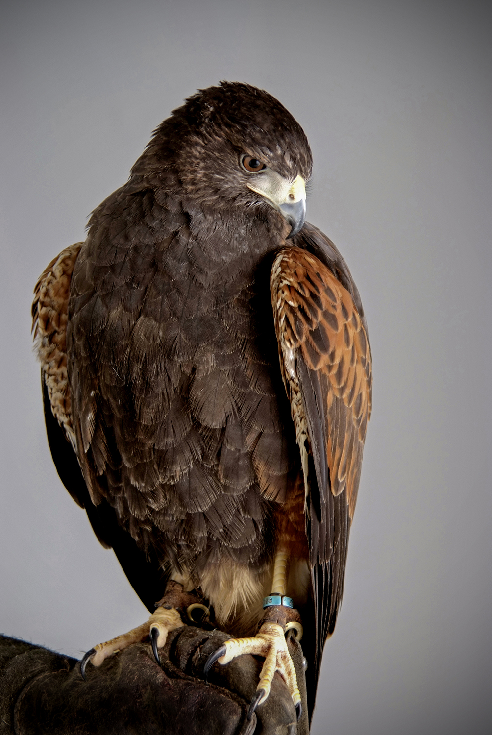 Bird of Prey photography portrait